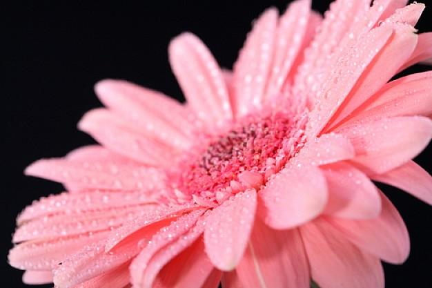 fiori-fiore-colore-rosa-petali-di-fiori-piante_398153